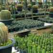 Stock Photo: Cactus breeding
