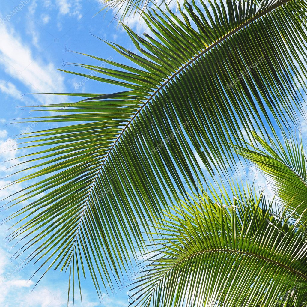 Palm Tree Leaves Various Green Shades Front Blue Sky