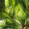 Palm tree leaves with coconuts — Stock Photo #4554106