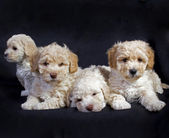 Puppies — Stockfoto