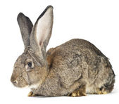 Big rabbit — Stock Photo