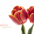 Fresh red tulip — Stock Photo