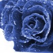 Beautiful blue rose — Stock Photo #5203450