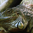 Iguana head - Stock Photo
