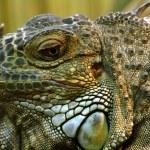 Iguana — Stock Photo #4302087