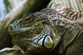 Iguana head — Stock Photo