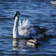 Cygnet — Stock Photo #5125157