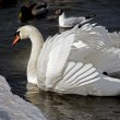 White swan — Stock Photo