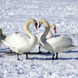 Stock Photo: White swans