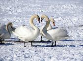 White swans — Stock Photo