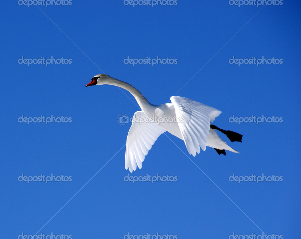 The white swan flies in the  blue sky  Stock Photo #5313713