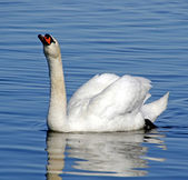The swan — Stock Photo