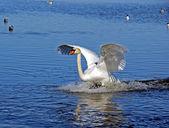 El cisne — Foto de Stock