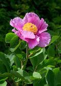 Flor de la peonía — Foto de Stock