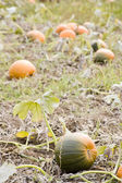 Pumpkin patch with pumpkins ripening — Stock Photo