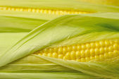Fresh corn background — Stock Photo