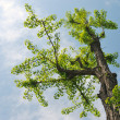 Ginkgo tree - Stock Photo