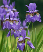 Violet iris flowers in rain in park — Stock Photo