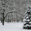 Stock Photo: Pine tree in snowy park