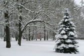 Pine tree in snowy park — Stock Photo