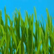 Grass on blue background — Stock Photo