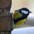 Photo of tomtit bird seating on the atone wall — Stock Photo #4801932