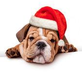 Bulldog santa şapka ile — Stok fotoğraf