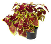 Coleus in a pot — Stock Photo