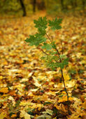 Autumn. A small green maple. — Stock Photo