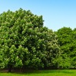 Chestnut flowering in the park - Stock Photo