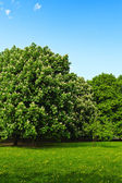Chestnut flowering in the park — Stock Photo