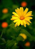 Beautiful yellow daisy — Stock Photo