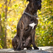 Boxer dog outdoor — Stock Photo