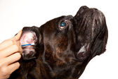 Boxer dog ears cleaning — Stock Photo