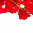 Red rose petals isolated on white - Valentine's Day — Stock Photo