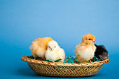 Easter chickens and eggs in basket on blue background — Stock Photo