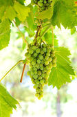 Green grapes on vine in direct sunlight — Stock Photo