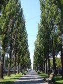 Poplars — Stock Photo