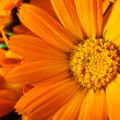Orange gerber flowers — Stock Photo