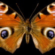 Butterfly, Inachis Io — Stock Photo