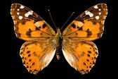 Butterfly, Vanessa Cardui — Stock Photo