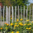 Flowers in front of a fence — Stock Photo
