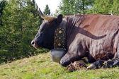 Bir çan inek — Stok fotoğraf