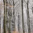 Stock Photo: Beech tree forest in Winter