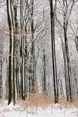 Lasy bukowe drzewo w zimie — Zdjęcie stockowe
