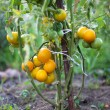 Stock Photo: Yellow tomato bush