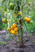 Yellow tomato bush — Stock Photo