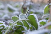 The plant covered with hoarfrost — Stock Photo