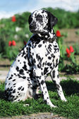 Dalmatian dog on a grass — Stock Photo