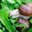 Edible snail — Stock Photo #5347641